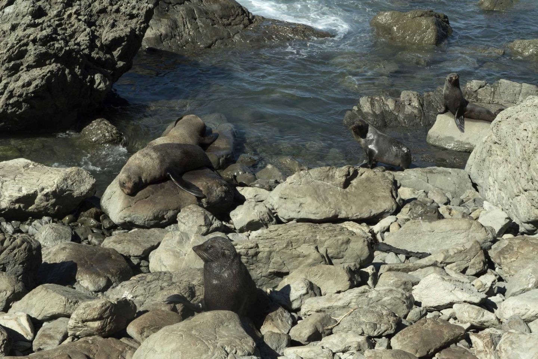 Les phoques de Kaikoura