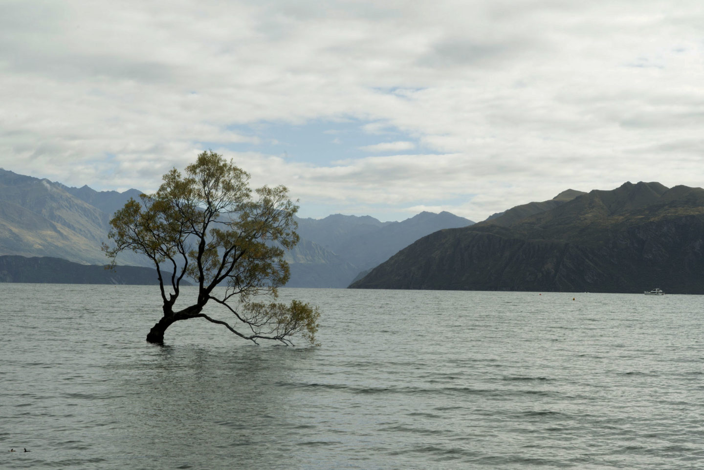 Lac Wanaka arbre solitaire