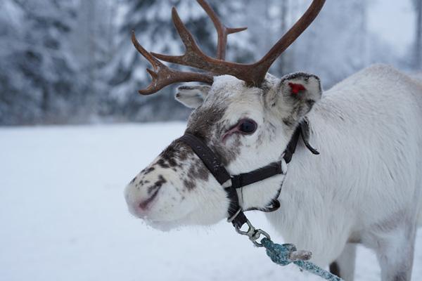 Laponie Finlandaise Décembre Ferme de Rennes