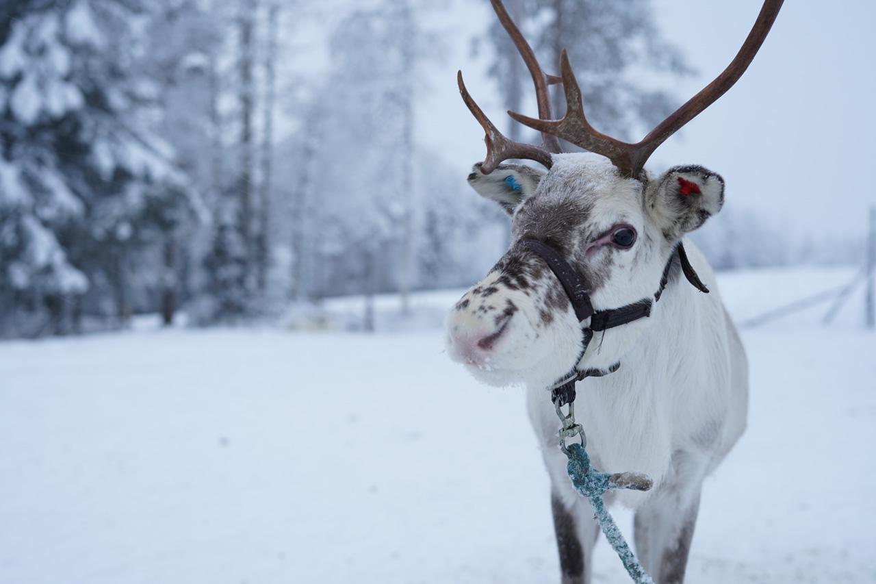 Que faire en Laponie Finlandaise en Décembre ?