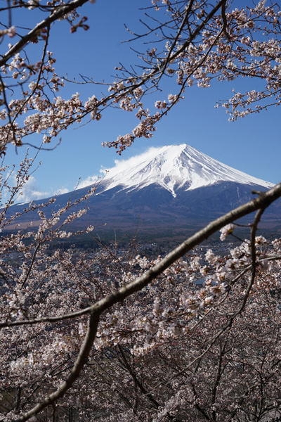 mont fuji sakura